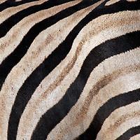 Africa, Namibia, Etosha. Burchell's Zebra stripes.