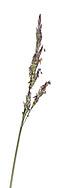 Common Saltmarsh Grass - Puccinellia maritima