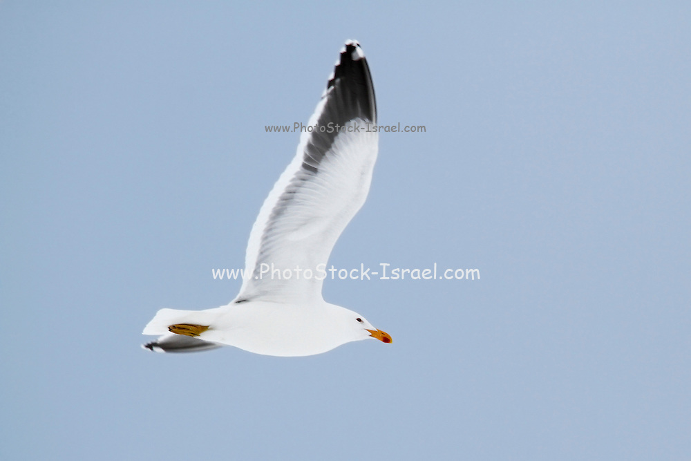 Kelp gull (Larus dominicanus) in flight. This seabird is found around the coasts of South America, South Africa, Australia, New Zealand and Antarctica. Its wingspan can be around 130 centimetres across. It feeds on fish, amphibians, bird's eggs, chicks and carrion. Photographed in Neko harbor, Antarctica,