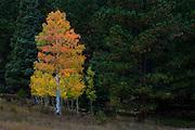 Aspen in autumn, Wet Mountain Valley near Westcliffe Colorado