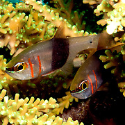 Girdled Cardinalfish shelter in branching corals. Picture taken Lembeh Straits, Sulawesi, Indonesia.