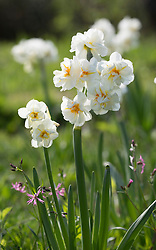 Narcissus 'Cheerfulness' AGM syn. 'White Cheerfulness' growing in grass with Lychnis flos-cuculi - Ragged robin