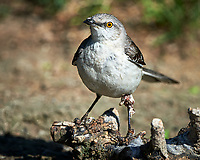 Northern Mockingbird (Mimus polyglottos). Campos Viejos, Texas. Image taken with a Nikon D4 camera and 500 mm f/4 VR lens.