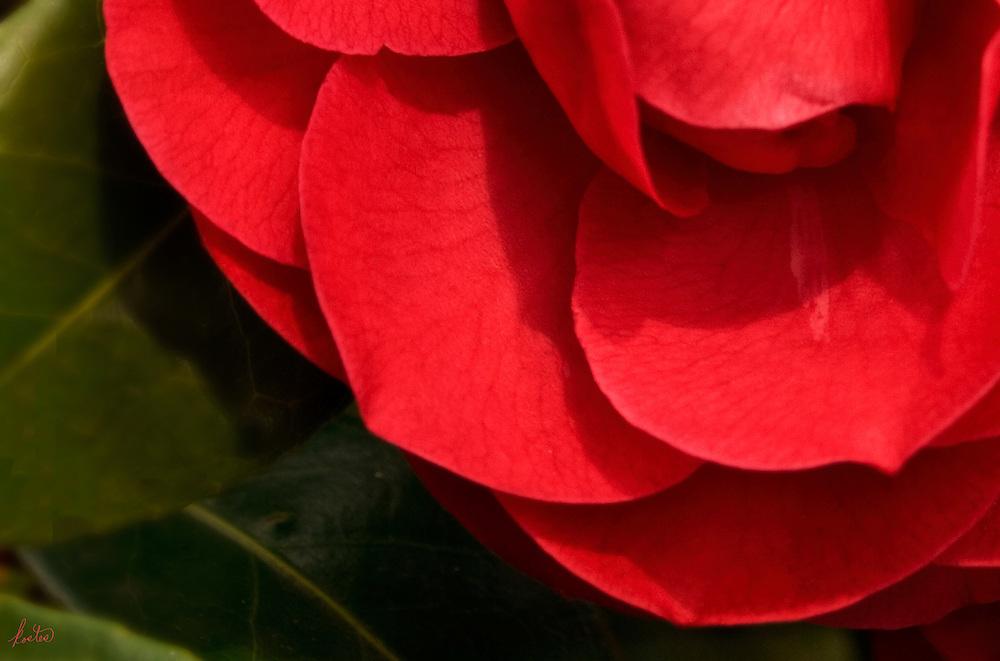 Close up detail of a Red Camelia blossom.