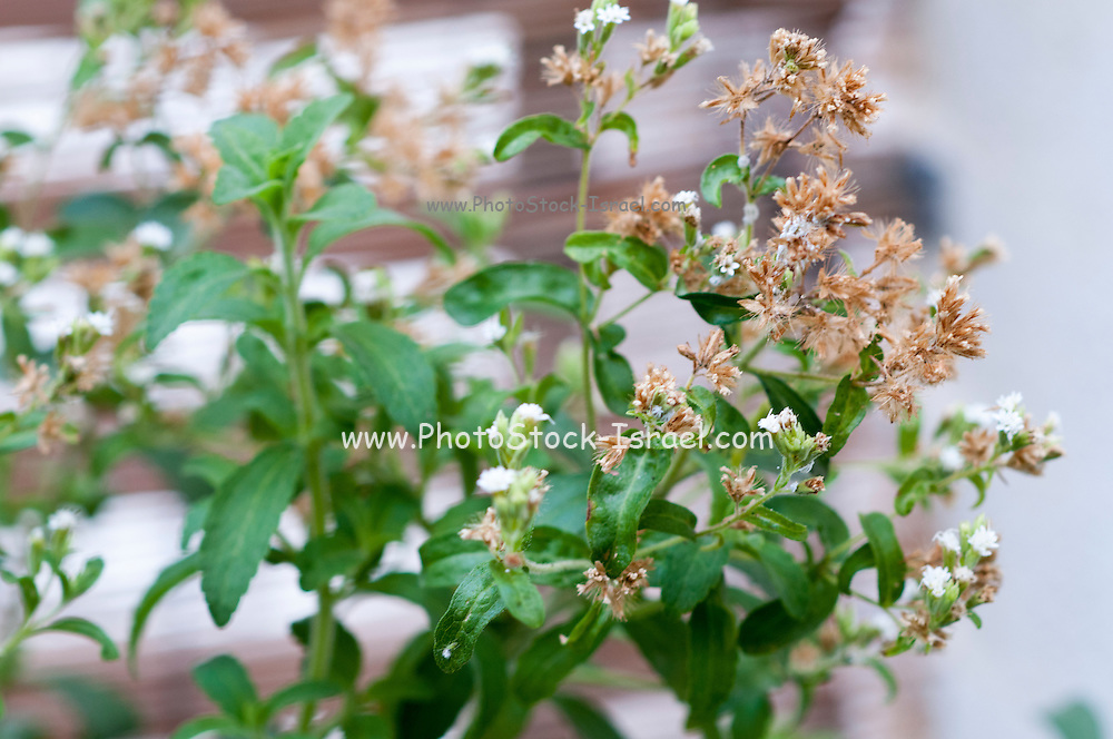 Flowering Stevia rebaudiana (commonly known as candyleaf, sweetleaf, sweet leaf, or sugarleaf.) widely grown for its sweet leaves, which are the source of sweetener products known generically as stevia and sold under various trade names