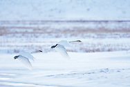 Flying Trumpeter Swans, Flat Creek, Jackson Hole, Wyoming