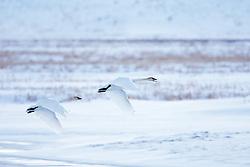 Flying Trumpeter Swans, Flat Creek, Jackson Hole, Wyoming