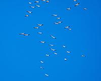 American White Pelican (Pelecanus erythrorhynchos). Alabama Hills, California. Image taken with a Nikon D300 camera and 80-400 mm VR lens.