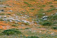California poppies blanket an undulating hillside at the Antelope Valley California Poppy Reserve, California, USA