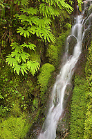 small silky waterfall misting moss and maidenhair ferns near Walker Pass in the Olympic National Forest of Washington, USA.