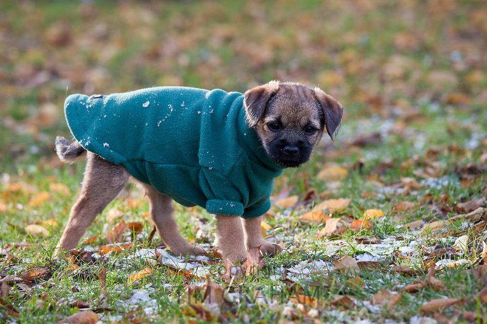 Cute Border terrier puppy 10 weeks old in fleece coat during wintry weather