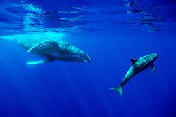 male humpback whale, Megaptera novaeangliae, .and pygmy killer whale, Feresa attenuata, .Hawaii (Pacific).