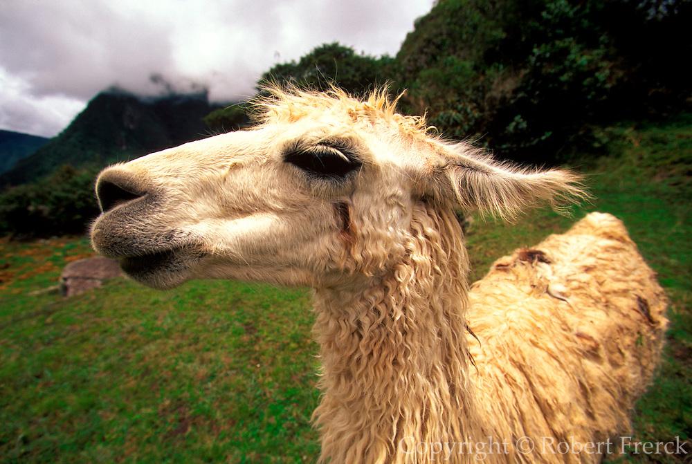 PERU, HIGHLANDS, ANDES MOUNTAINS Llamas in field near Cuzco