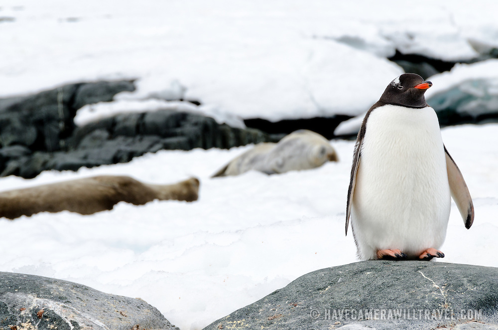 A Gentoo penguin stands on a rock in the foreground, while two Weddell seals lie on the ice in the background at Two Hummock Island on the western side of the Antarctica Peninsula.