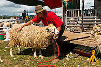 """""""Mr. Clip"""" shearing sheep at an exhibition, Clevedon Village Agricultural and Pastoral Society Show, Clevedon (near Auckland), North Island, New Zealand"""