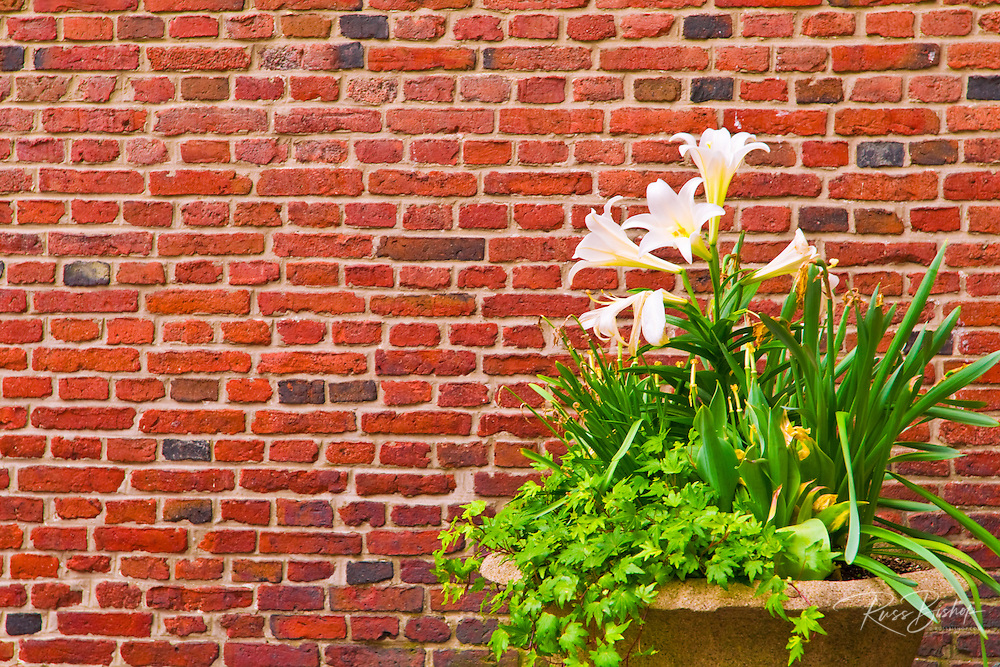 Lilies and brick wall at St. Francis of Assisi Garden, Old North Church, Freedom Trail, Boston, Massachusetts