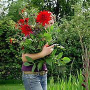 Jo Campbell, gardener carries a bunch of red dahlias that shes has just picked at an Estate in Felixkirk, North Yorkshire, UK. Jo grows the flowers and creates bouquets to sell locally.