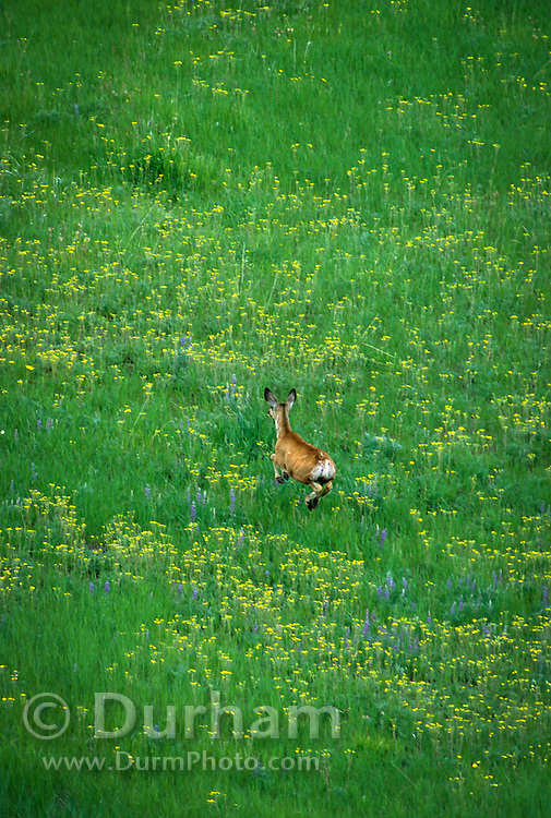 a mule deer doe (Odocoileus hemionus) jumps through spring flowers in The Nature Conservancy's Zumwalt Prairie Preserve. Zumwalt Prairie is the largest remaining intct tract of native bunchgrass prairie left in North America.