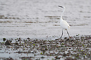 Little Egret struts across the mudbank at Shipstal Point on the shores of Poole Harbour, Dorset, UK.