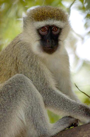 Vervet monkey (Cercopithecus aethiops) Near Samburu Intrepids Camp in tree. Kenya. Africa.