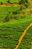 Women picking tea, Nanu Oya, near Nuwara Eliya, Central Province, Sri Lanka.