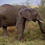 African Elephant, (Loxodonta africana)  Browsing on vegetation. Masai Mara Game Reserve. Kenya.