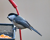 Black-capped Chickadee. Image taken with a Nikon D850 camera and 600 mm f/4 VR lens