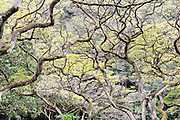 Dense overhead branches. Waimea Valley, Oahu, Hawaii