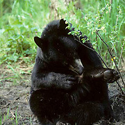 Black Bear, (Ursus americanus) Minnesota, lone bear in forest, grooming self. Early spring.