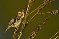 Aquatic warbler, Acrocephalus paludicola, Critically endangered species, Nemunas River Delta, Lithuania