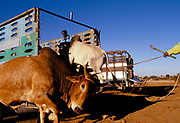 Cattle are loaded onto a truck for export to Ethiopia. Because of the export ban from Arab countries - an attempt to get Somaliland to reunite with Mogadishu, Cgristian Ethiopia is a rare trading partner