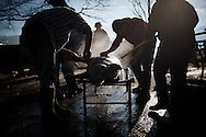 Some men scrape a dead pig's skin in traditional way pig slaughtering. Legasa (Basque Country). January 7, 2017. The slaughter traditionally takes place in the autumn and early winter and the work often is done in the open. (Gari Garaialde / Bostok Photo)