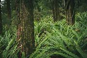 Ferns in bush near Rakeahua River, The Southern Circuit, Stewart Island / Rakiura, New Zealand Ⓒ Davis Ulands | davisulands.com