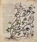Hand drawn Rubus fruticosus (Blackberry) from a Byzantine manuscript Aniciae Julianae Codex ca. 512.