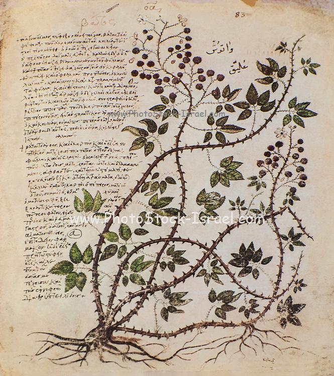 Hand drawn Rubus fruticosus (Blackberry) from a Byzantine manuscript Aniciae Julianae Codex ca. 512.