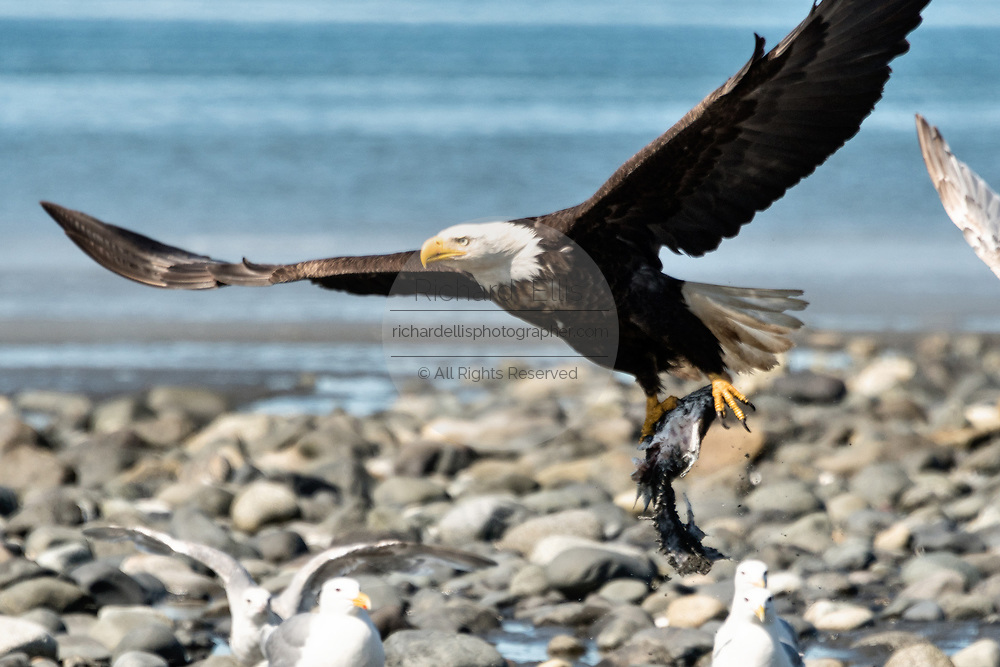 An adult bald eagle carries off fish scraps on the beach at Anchor Point, Alaska.