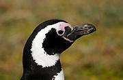 Portrait of a Megellanic Penguin (Spheniscus magellanicus)  at the nesting colony at Otway Sound. Punta Arenas, Republic of Chile. 16Feb13