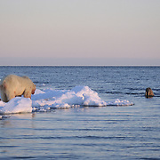 Polar Bear (Ursus maritimus) feeding on a baby walrus as the mother walrus looks for its baby. Nunavut Territory, Canada
