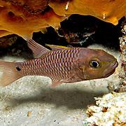 Iridescent Cardinalfish inhabit reefs. Picture taken Halmahera Islands, Indonesia.