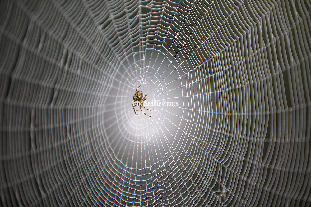 A spider back-lit by a white light in the background waiting patiently in the early morning mist for it's prey. (Steve Ringman / The Seattle Times)