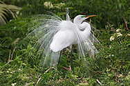 Great Egret - Ardea alba - breeding adult displaying
