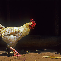 A rooster patrols its territory on a homestead in the upper Amazon cloud forests of Peru.
