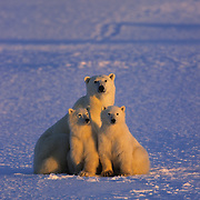 Polar Bear (Ursus maritimus) mother and cubs on frozen Churchill, Manitoba, Canada.