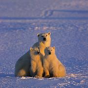 Polar Bear (Ursus maritimus) mother and cubs on frozen Churchill, Manitoba, Canada.