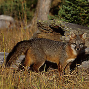 Gray Fox (Urocyon cinereoargenteus) Adult hunting.  Captive Animal.