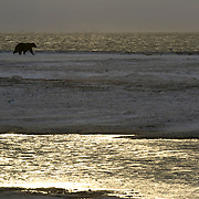 Grizzly bear (Ursus arctos horribilis) from the Arctic National Wildlife Refuge coming onto the coast of the Beaufort Sea, Alaska.