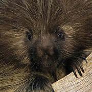 Porcupine, (Erethizon dorsatum) Portrait of sub adult on log.Captive Animal.