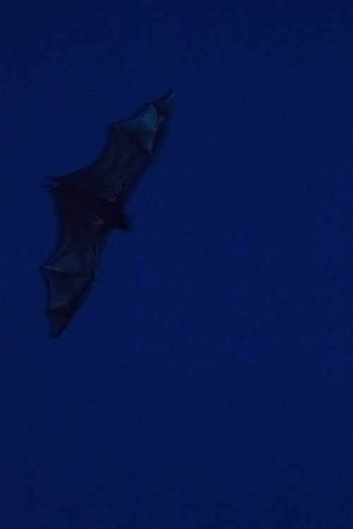 Fruit bat on the wing after darkness falls, Pine Creek, Northern Territory, Australia.