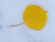 Owl Creek Pass, Colorado<br /> Aspen leaves, in their autumn colors, littered the forest floor, knocked down by a fast moving snow storm.