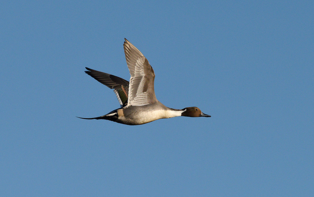 Pintail - Anas acuta - male